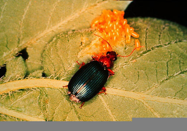 Ground_Beetle-Slide_1.jpg
