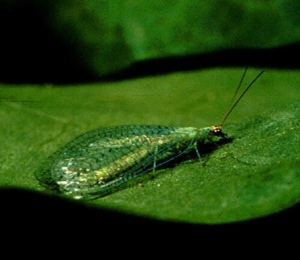 Green-Lacewing-Slide_1.jpg
