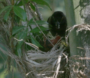 נדב קוולרציק צילם ציפור מאכילה גוזל או גוזלים ב קן על עץ בחצר הבית ב כפר סירקין