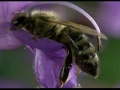 דבורה מאביקה