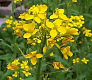 net_mustard.jpg