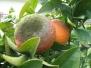 מחלות ומזיקים של עצי פרי בבוסתן