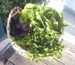 lettuce_001.jpg