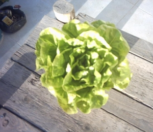 lettuce_003.jpg