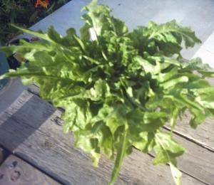 lettuce_007.jpg