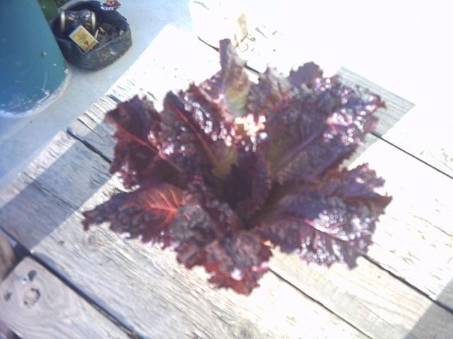 lettuce_005.jpg