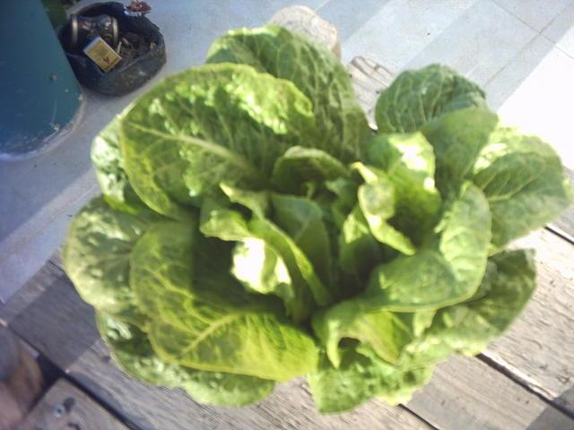 lettuce_008.jpg
