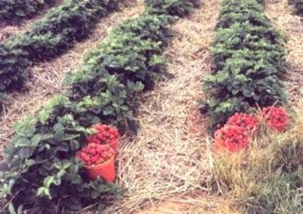 berry-mulch.jpg