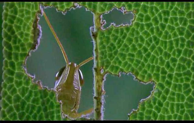 grasshopper_eats.jpg