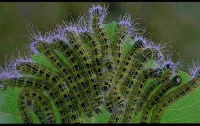 prodenia_worms.jpg