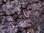 תולעים אדומות - וורמיקומפוסטיזציה