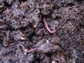 תולעים אדומות מפרקות קומפוסט להומוס - וורמיקומפוסטיזציה