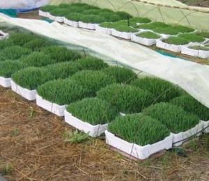 barley grass-4.jpg