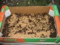 זרעי חיטה/שעורה מפוזרים על מצע-גידול במגש קרטון